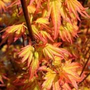 Acer Palmatum Orange Dream Japanese Maple Care Plant Varieties