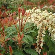 'Mountain Fire' is an evergreen shrub with shiny, ovate leaves that emerge red, then change to bronze then dark green.  In spring, it bears densly packed racemes of bell-shaped, white flowers. Pieris japonica 'Mountain Fire' added by Shoot)