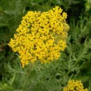 'Cloth of Gold' is a clump-forming, herbaceous perennial with light-green, finely divided leaves.  From late summer to early autumn, it bears flat umbels of golden-yellow flowers. Achillea filipendulina 'Cloth of Gold' added by Shoot)