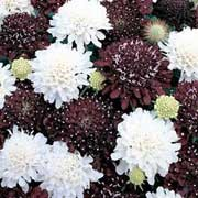 'Ebony and Ivory' is a mix of black and white pin-cushion shaped flowers.  It is a fragrant annual, producing its flowers in summer. Scabiosa atropurpurea 'Ebony and Ivory' added by Shoot)