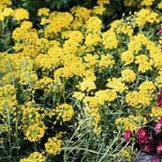'Tekara' is a spreading, hardy annual with narrow, grey-green foliage.  In mid to late spring, it bears small clusters of golden-yellow flowers. Alyssum montanum 'Tekara' added by Shoot)