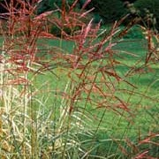 'Ferne Osten' is a deciduous grass with sparse,  arching leaves, and gold-brown flower panicles in late summer, turning red in autumn. Miscanthus sinensis 'Ferne Osten' added by Shoot)