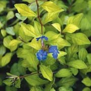 'Desert Skies' is a bushy, deciduous shrub with golden-yellow leaves.  From mid-summer to early autumn, it bears clusters of clear blue flowers. Ceratostigma willmottianum 'Desert Skies' added by Shoot)