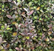 Corokia x virgata 'Frosted Chocolate'