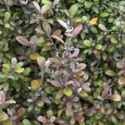 'Frosted Chocolate' is a mid-sized evergreen shrub.  It has leathery, bronzed, ovate leaves that turn chocolate brown in winter. Corokia x virgata 'Frosted Chocolate' added by Shoot)