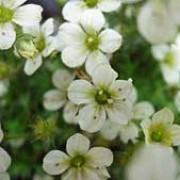 'White Pixie' is a low, cushion-forming, evergreen perennial.  It has fresh-green leaves and in late spring and early summer, bears dainty white flowers singly on short stems. Saxifraga 'White Pixie' added by Shoot)