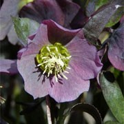 Helleborus purpurascens added by Shoot)