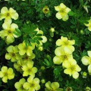 'Elizabeth' is a small bushy deciduous shrub.  It has small green leaves with white undersides and from early summer to mid autumn bears pale yellow flowers with darker centres. Potentilla fruticosa 'Elizabeth' added by Shoot)