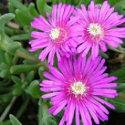 Delosperma cooperi added by Shoot)