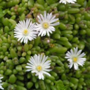 'Graaf Reinet' is a tender perennial with succulent, narrow, very soft fleshy leaves, and clusters of silken, white flowers. Delosperma 'Graaf Reinet' added by Shoot)
