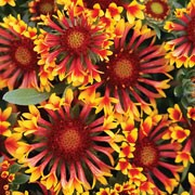 'Fanfare' is a compact perennial (often grown as an annual) with narrow leaves and large, bright red-orange, daisy-like flowerheads with yellow tips in summer and autumn. Gaillardia aristata 'Fanfare' added by Shoot)