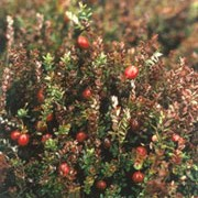 'Red Star' is a dwarf evergreen shrub with wiry stems, small leaves and white fruit turning red and edible when ripe. Vaccinium macrocarpon 'Red Star' added by Shoot)