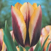 'Gavota' is a sturdy bulbous perennial combining rich deep-purple with golden-yellow flowers in spring. Tulipa triumph 'Gavota' added by Shoot)