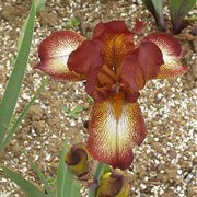 'Kent Pride' is hardy, bulbous perennial with green foliage and red-brown flowers in summer. Iris 'Kent Pride' added by Shoot)