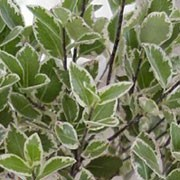 'Variegatum' forms round grey-green evergreen leaves edged in cream.