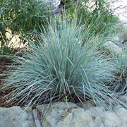 'Saphirsprudel' is a clump-forming perennial grass with highly ornamental blue foliage and pale brown flower plumes in summer.