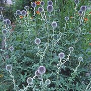 'Veitch's Blue' is a robust perennial, with divided, prickly dark green leaves whiter underneath, and round, violet-blue flowerheads on silver-grey, branched, leafy stems. Echinops ritro 'Veitch's Blue' added by Shoot)