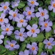 'Cabana Trailing Blue' is a vigourous, trailing evergreen perennial with long, spreading stems bearing icy blue flowers in summer to early autumn. Bacopa 'Cabana Trailing Blue' added by Shoot)