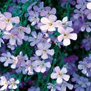 'Bermuda Sky' is a bushy, upright perennial with masses of blue flowers in summer and autumn. Bacopa 'Bermuda Sky' added by Shoot)