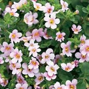 'Snowstorm Pink' is a vigourous, trailing evergreen perennial with long, spreading stems bearing pink flowers in summer to early autumn. Bacopa 'Snowstorm Pink' added by Shoot)