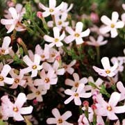 'Bermuda Sand' is a vigourous, evergreen perennial with long, spreading stems bearing soft pink flowers in summer to early autumn. Bacopa 'Bermuda Sand' added by Shoot)
