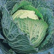 'Tundra F1' is a cultivated cabbage plant with a short thick stalk and a large compact head of edible spring greens in spring. This variety is high yielding, hardy and can be picked right through winter. Brassica oleracea capitata 'Tundra F1' added by Shoot)