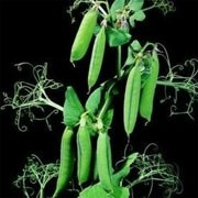 'Sancho' is a perennial climbing legume, often grown as an annual, forming small white flowers followed by long green pods containing small, round, edible peas. Pisum sativum 'Sancho' added by Shoot)