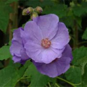 Abutilon X Suntense Violetta Care Plant Varieties Pruning Advice