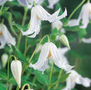 Clematis integrifolia white-flowered
