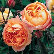 'Lady Emma Hamilton' is an English rose with a bushy, upright habit, with orange fading to yellow blooms in summer and autumn. Rosa 'Lady Emma Hamilton' added by Shoot)