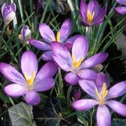Crocus tommasinianus added by Shoot)