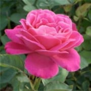 'Prima Ballerina' is a hybrid tea rose with double, mid-pink scented flowers in summer and autumn. Rosa 'Prima Ballerina' added by Shoot)
