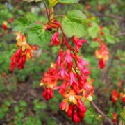 Ribes gordonianum added by Shoot)