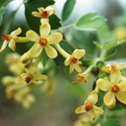 Ribes odoratum added by Shoot)