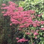 Shirazz palmatum may 2014 Added by Spring