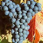 'Regent' is a fairly vigorous vine with colourful foliage and edible, dark-purple grapes in autumn. This variety is mildew resistant. Vitis vinifera 'Regent' added by Shoot)