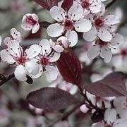 (13/03/2018) Prunus x cistena added by Shoot)