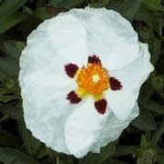 'Alan Fradd' is a small, dense, rounded, evergreen shrub with mid-green leaves. It bears white flowers with a dark purple blotch at the base of each petal and a golden boss of stamen in summer. Cistus 'Alan Fradd' added by Shoot)