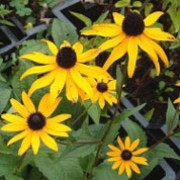 var deamii is a clump-forming, herbaceous perennial with rough, dark-green, ovate leaves.  From late summer to mid-autumn, it produces golden-yellow daisies with dark centres on upright, leafy stems. Rudbeckia fulgida var deamii added by Shoot)