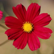 'Dazzler' is a half-hardy annual with delicate, feathery foliage.  As its name implies, it has bright flowers that are crimson with yellow centres.  They are held on tall, upright stems in summer. Cosmos bipinnatus 'Dazzler' added by Shoot)