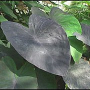 'Jet Black Wonder' is a tender, evergreen perennial with dramatic black, heart-shaped leaves. Colocasia esculenta 'Jet Black Wonder' added by Shoot)