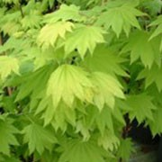 'Aureum' is a a slow growing maple. Leaves are pale yellow in spring, darkening to yellow green in summer; in autumn turning gold on the inside and red on the margins.   Acer shirasawanum 'Aureum'  added by Shoot)