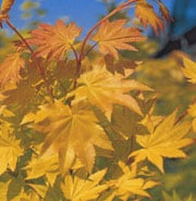 Acer Shirasawanum Jordan Fullmoon Maple Care Plant Varieties