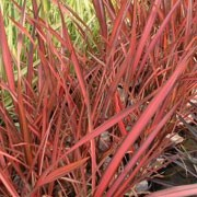 'Evening Glow' is an evergreen perennial forming a clump of strap-shaped leaves that are predominately red with pink, bronze and purple variegations.  Its foliage is upright and gently arching. Phormium 'Evening Glow' added by Shoot)