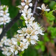 Prunus spinosa added by Shoot)