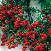 'Mohave' is an upright, evergreen, thorny shrub with shiny green ovate leaves.  In late spring, it bears clusters of white flowers that are followed by a large number of orange-red berries in autumn. Pyracantha 'Mohave' added by Shoot)