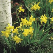 'Tete a Tete' is a dwarf bulbous perennial with strap-shaped leaves and yellow spring flowers. Narcissus 'Tete a Tete' added by Shoot)
