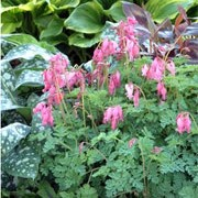 'King of Hearts' Dicentra 'King of Hearts' added by Shoot)