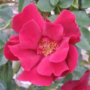'Frensham' is a Floribunda rose. It is a throny stemmed shrub with dark-green, shiny leaves that are purple tinted when young. In summer and autumn, it bears clusters of bright-red, semi-double flowers. Rosa 'Frensham' added by Shoot)