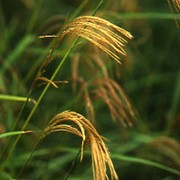 Miscanthus nepalensis added by Shoot)